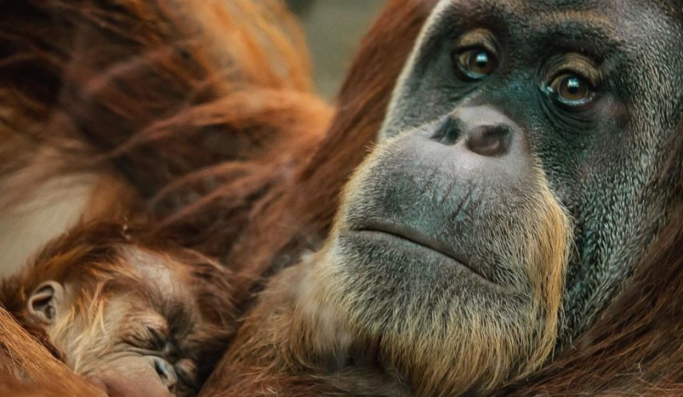 A Rare Baby Orangutan Has Been Born At Chester Zoo