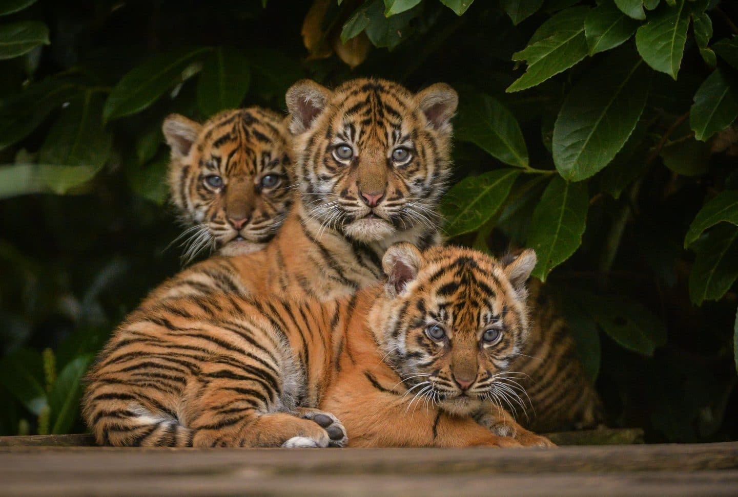 Chester Zoo Is Hosting A Live Virtual Tour Of The Animals Today
